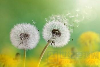 Dandelion-5.jpg